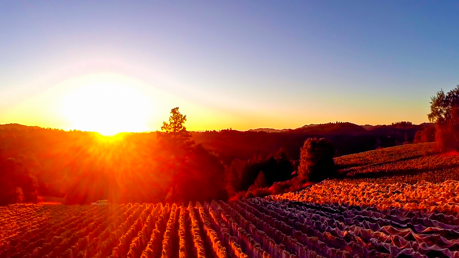 Sunrise Drone over vineyard